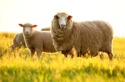 nhau thai cừu, nhau thai cừu Úc