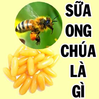 sua ong chua la gi, sữa ong chúa
